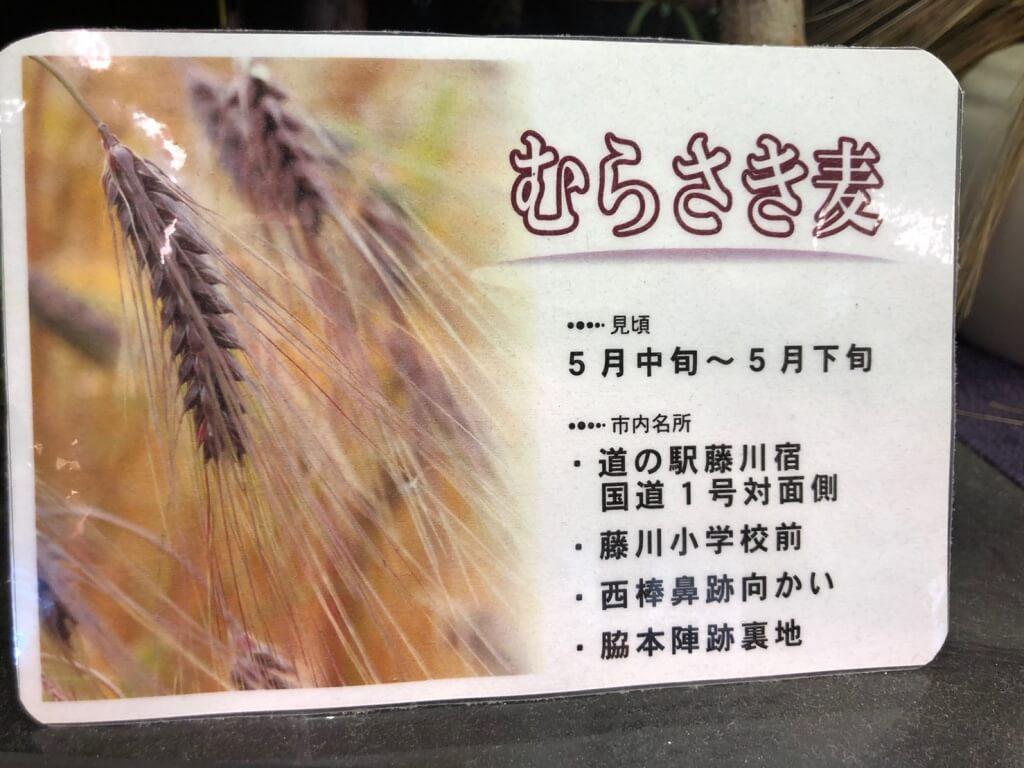 むらさき麦5
