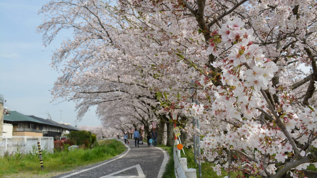伊賀川の桜